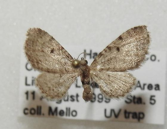 Eupithecia affinata - Hodges#7495 - Eupithecia affinata - female