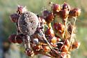 Unknown Spider - Neoscona oaxacensis