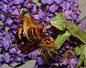 Feeding Mantis - Tenodera sinensis - female