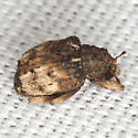 Unknown Weevil - Phyrdenus divergens