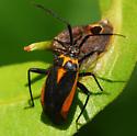 bug - Taedia externa
