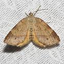 Orange Wing - Hodges#6271.1 - Mellilla xanthometata - female