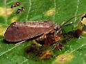 Caddisfly feeding on banana/sugar bait. - Ptilostomis