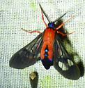 Cosmosoma myrodora Scarlet-bodied wasp moth - Cosmosoma myrodora