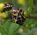 Murgantia histrionica, Harlequin romance - Murgantia histrionica