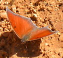Butterfly ID? - Anaea andria - male