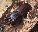 Patent Leather Beetle - Odontotaenius disjunctus