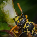 Wasp goes after a piller on the Ram Rau - Polistes dominula - female