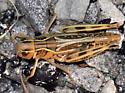 Ebony Grasshopper - Boopedon nubilum - female