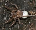 wolf spider with egg case - Gladicosa gulosa
