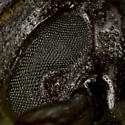 Beetle (eye detail) - Prionus laticollis - female