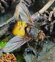 Fly - Xanthoepalpus bicolor