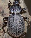 Genus Sphaeroderus possibly schaumi? - Sphaeroderus schaumii