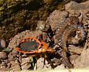 Rhiginia cruciata - Scarlet-bordered Assassin Bug - Rhiginia cruciata