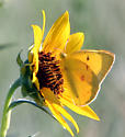 Orange Sulfur - Colias eurytheme - male
