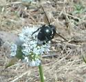 carpenter bee - Xylocopa californica