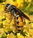 Bee - Campsomeris tolteca - female