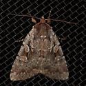 Rustic Shoulder-knot - Apamea sordens