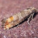 Adana Tip Moth - Hodges#2877 - Rhyacionia adana