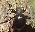 Unknown beetle with a shiny/glitter covered thorax - Meracantha contracta