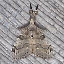 White-marked Tussock Moth - Hodges#8316 - Orgyia leucostigma