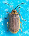 Yellowish beetle - Galerucella nymphaeae