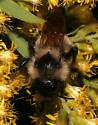 Bombus - Bombus citrinus - male