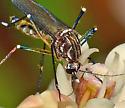 Mosquito on milkweed - Aedes aegypti