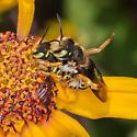Wool carder bee - Anthidium oblongatum ? - Anthidium oblongatum