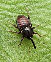 Weevil - Oligolochus bracatus
