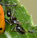 Aphid Guarding Ant - Formica neogagates