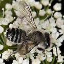 Bee IMG_1276 - Megachile mendica