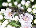 Empidid fly - female