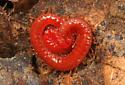 Soil Centipede?