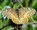 Butterfly - Euptoieta claudia - male
