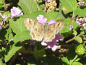 Butterfly ID? - Systasea zampa