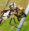 Slaty Skimmer - Libellula incesta - female