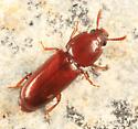 beetle found under pine bark - Corticeus parallelus
