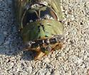 Cicada which kind ? - Megatibicen resh