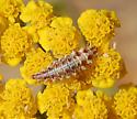 Chrysoperla rufilabris larva
