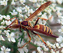 wasp species and gender? - Polistes dorsalis - male