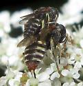 Wasps - Oxybelus - male - female