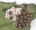 Green Stink Bug nymphs & spent eggs - Chinavia hilaris