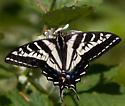 Papilio eurymedon ? - Papilio eurymedon