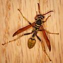 Mischocyttarus flavitarsis - Western Paper Wasp? - Mischocyttarus flavitarsis - female