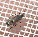 Lygaeospilus tripunctatus from Texas Panhandle - Lygaeospilus tripunctatus