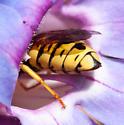Pseudomasaris vespoides - female