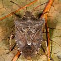 Brown Marmorated Stink Bug? - Euschistus tristigmus
