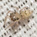 Jumping Spiderling - Thiodina sylvana