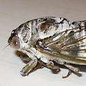 Northern Dusk Singing Cicada - Tibicen auletes - male